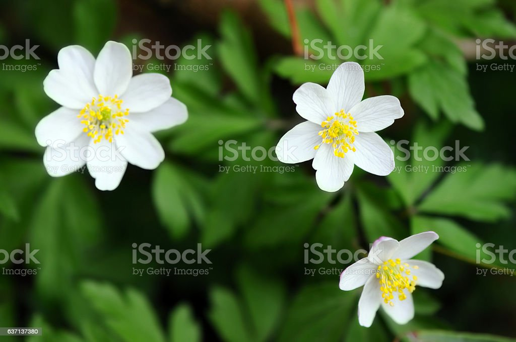 wood anemone flower blossom stock photo