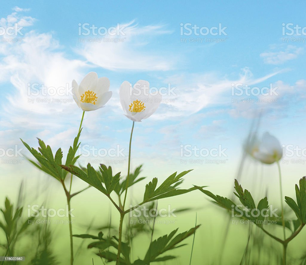 wood anemone flowers on blue sky royalty-free stock photo