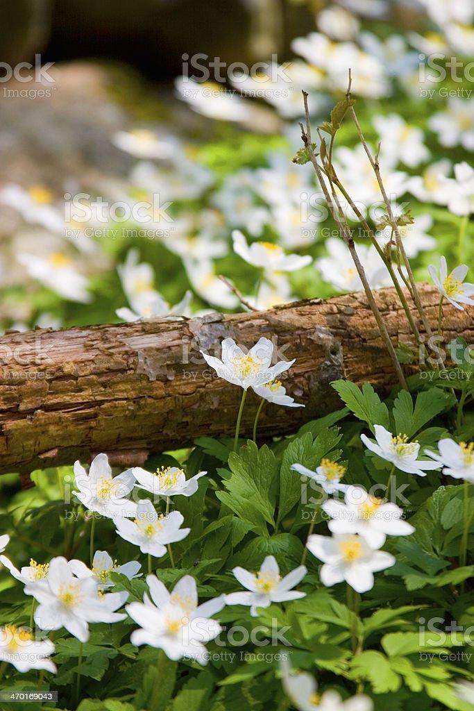 wood anemone (Anemone nemorosa).GN stock photo