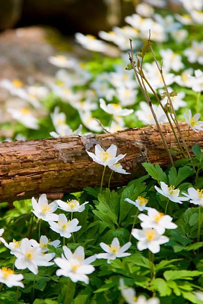 wood Anemone occidentalis nemorosa .GN () – Foto