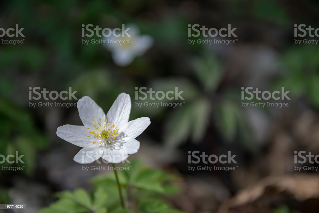 wood anemone in the undergrowth stock photo