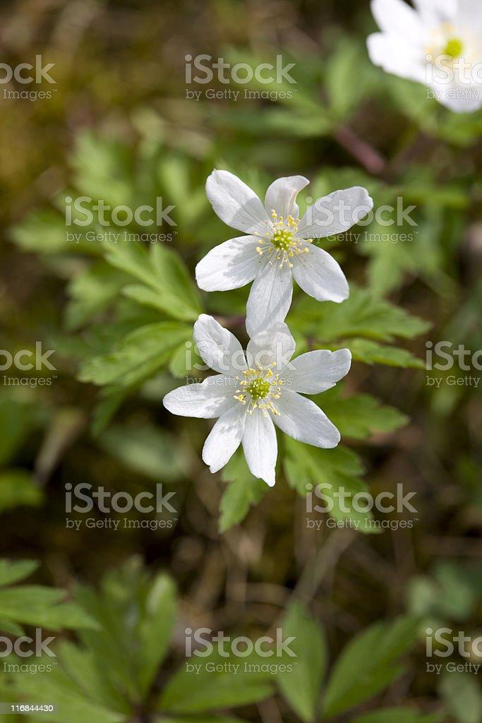 Wood anemone (A. nemorosa ) royalty-free stock photo