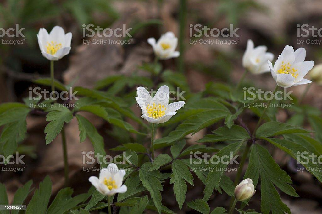 wood anemone (anemone nemorosa) royalty-free stock photo