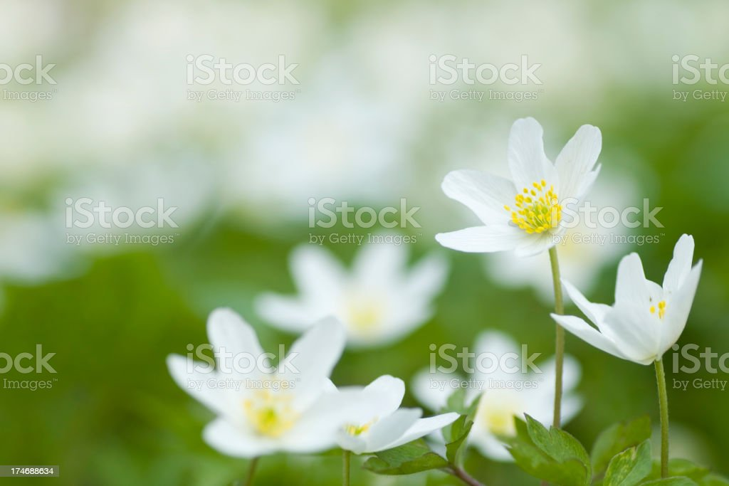 Wood anemone royalty-free stock photo