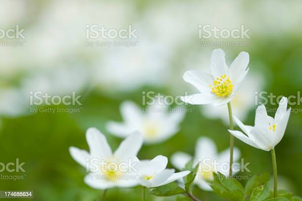 """""""Close up of wood anemone (Anemone nemorosa), white spring flower often covering the ground."""""""