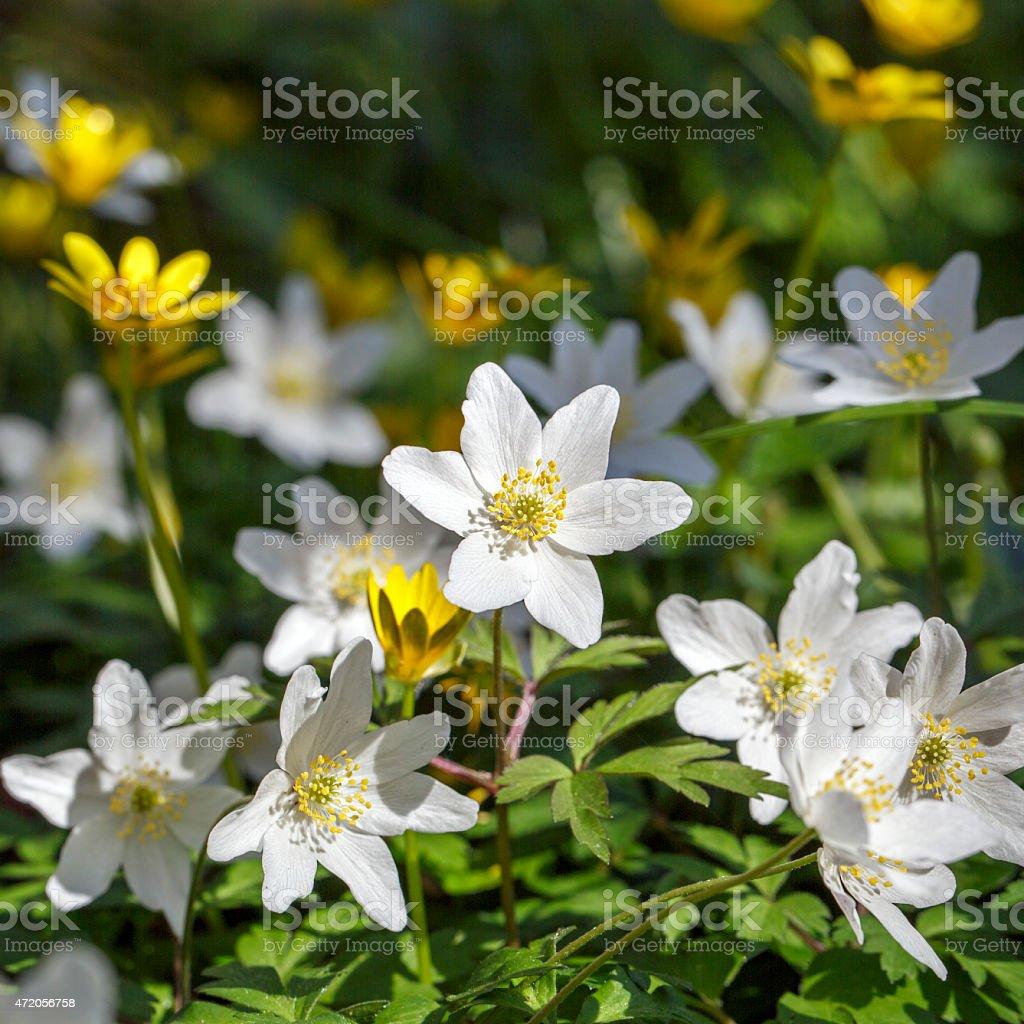 Wood Anemone stock photo