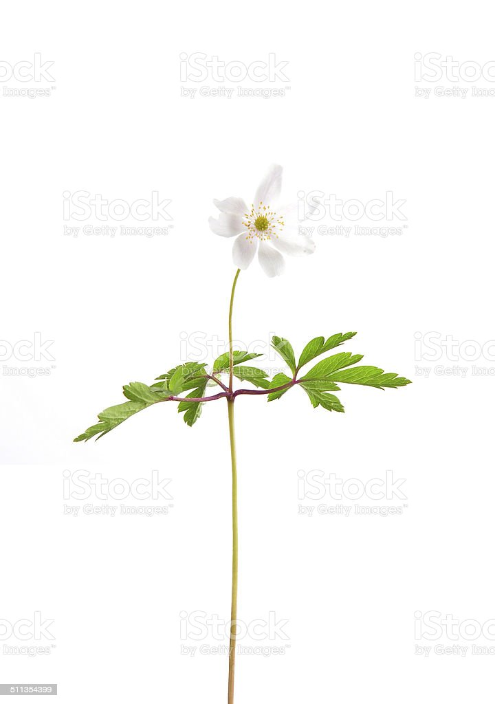 Wood anemone (Anemone nemorosa) stock photo
