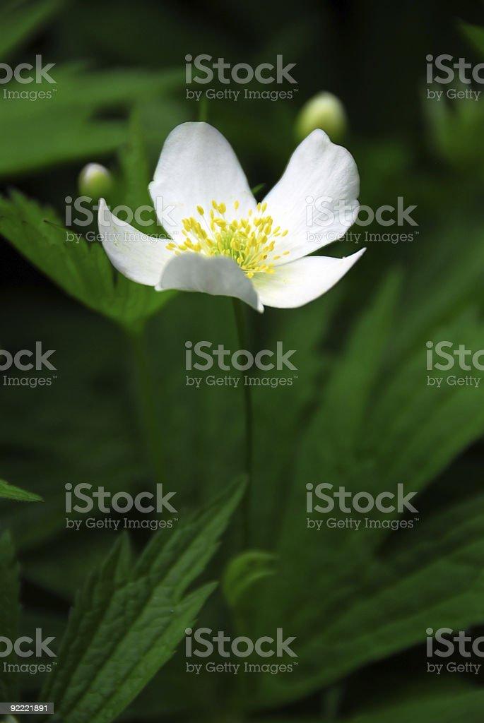 Wood anemone royalty-free stock photo