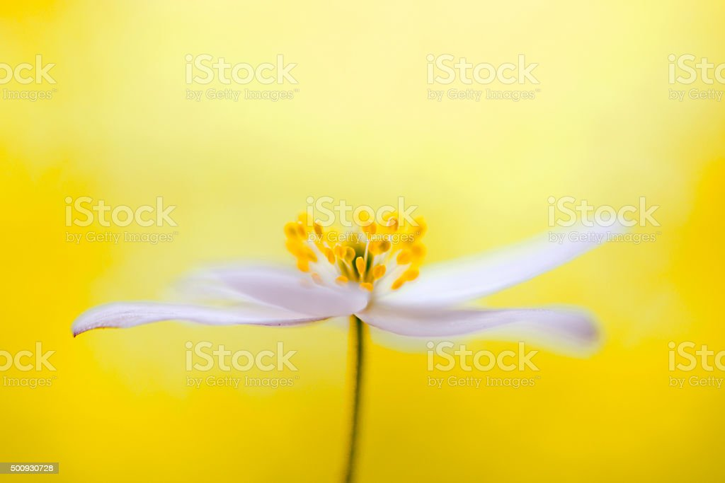 wood anemone with yellow background stock photo
