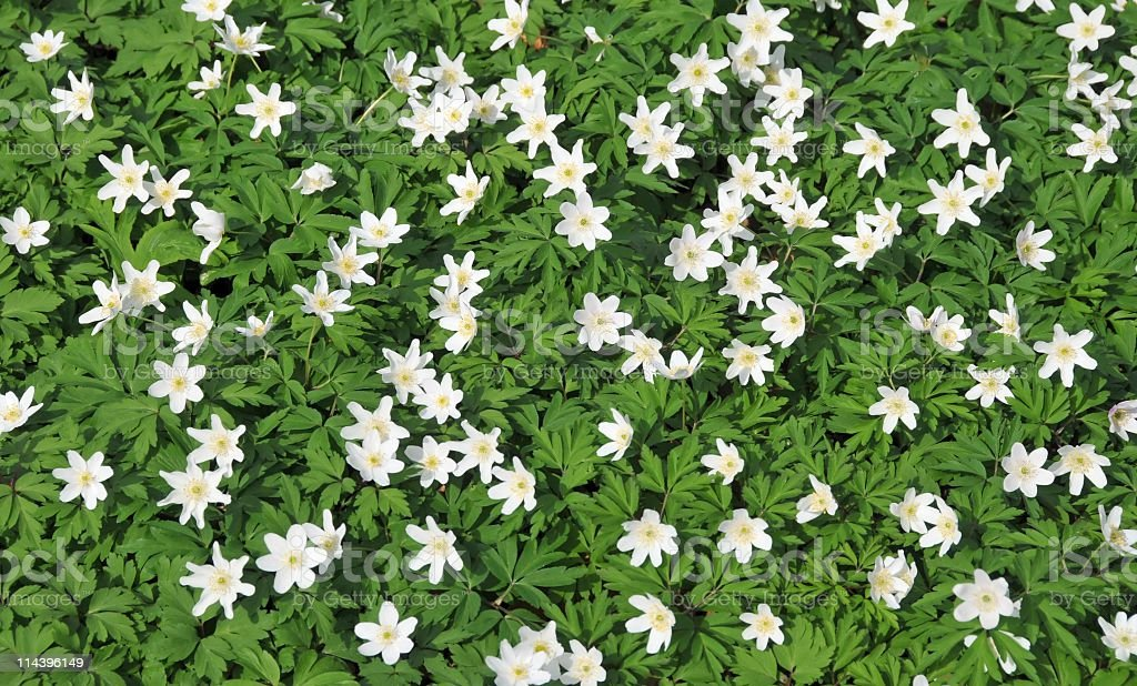 Wood anemones blooming in spring stock photo