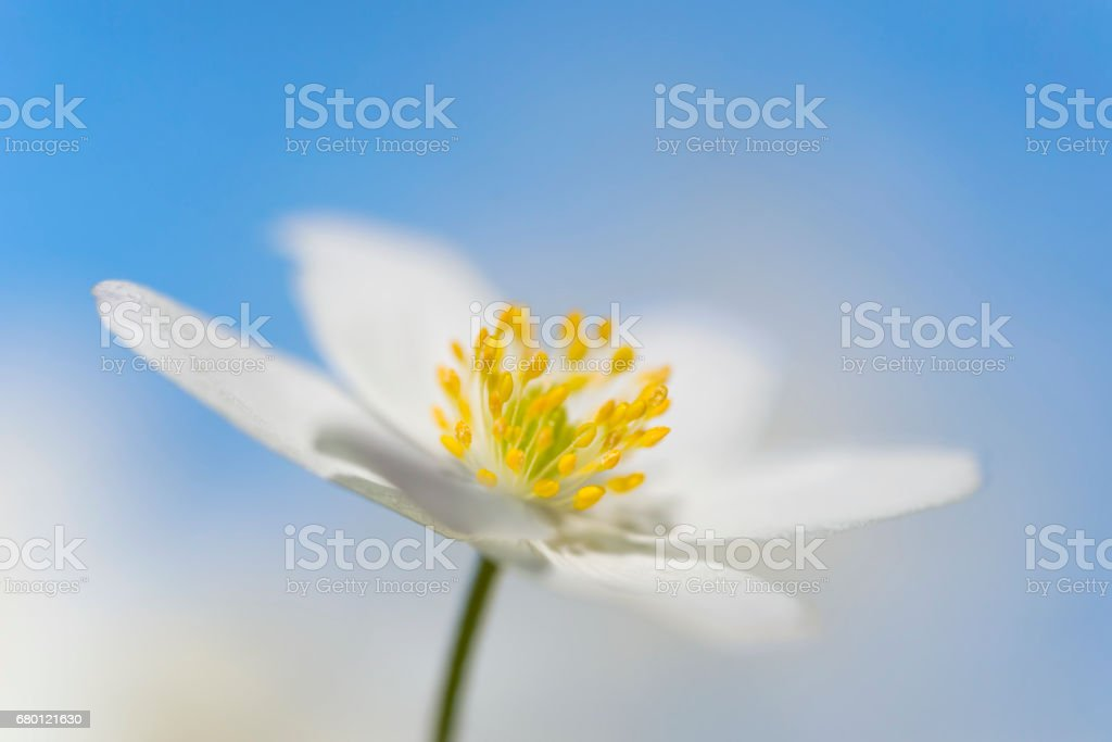 wood anemones flower head with blue sky stock photo