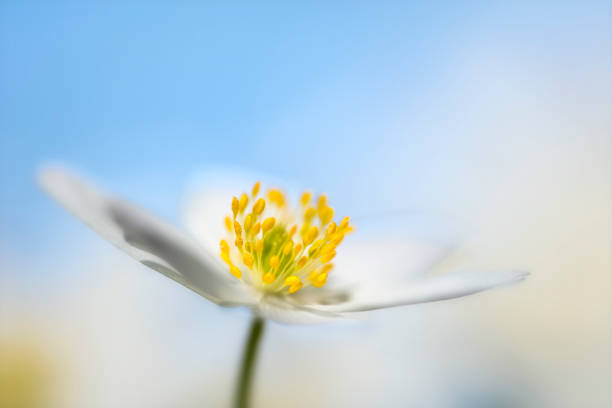 wood anemones flower head with blue sky - stamen stock photos and pictures