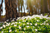 Wood anemones in a forest in spring