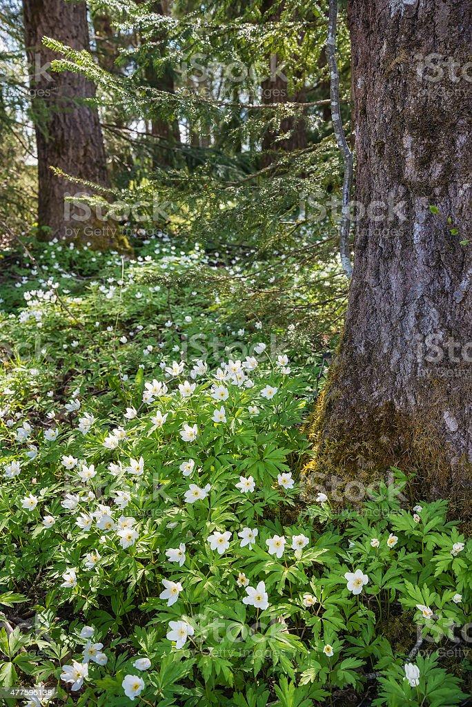 Wood Anemones in spring stock photo