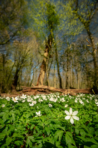 Wood anemones (Anemonoides nemorosa) in the forest on a sunny day in springtime, Zetel, Friesland - District, Lower Saxony, Germany, Europe