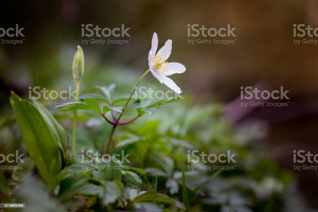 Wood anenome blooms in springtime in the New Forest stock photo