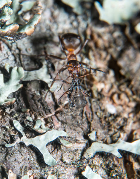 Wood ant Wood ant on a tree trunk formic acid stock pictures, royalty-free photos & images