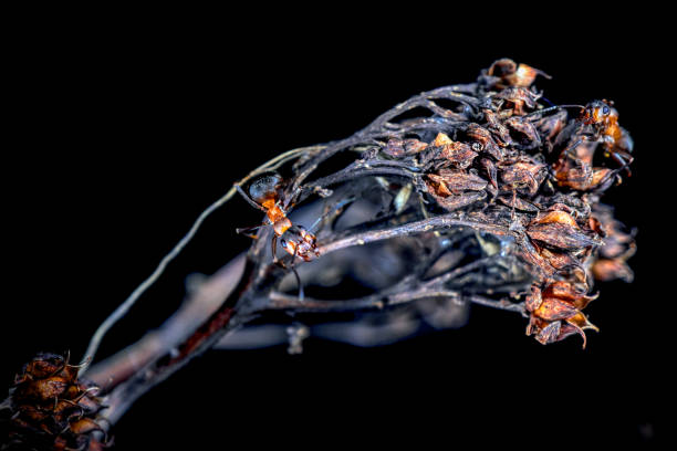 Wood ants on a dead flower Red wood ants on a bloomed out flower formic acid stock pictures, royalty-free photos & images