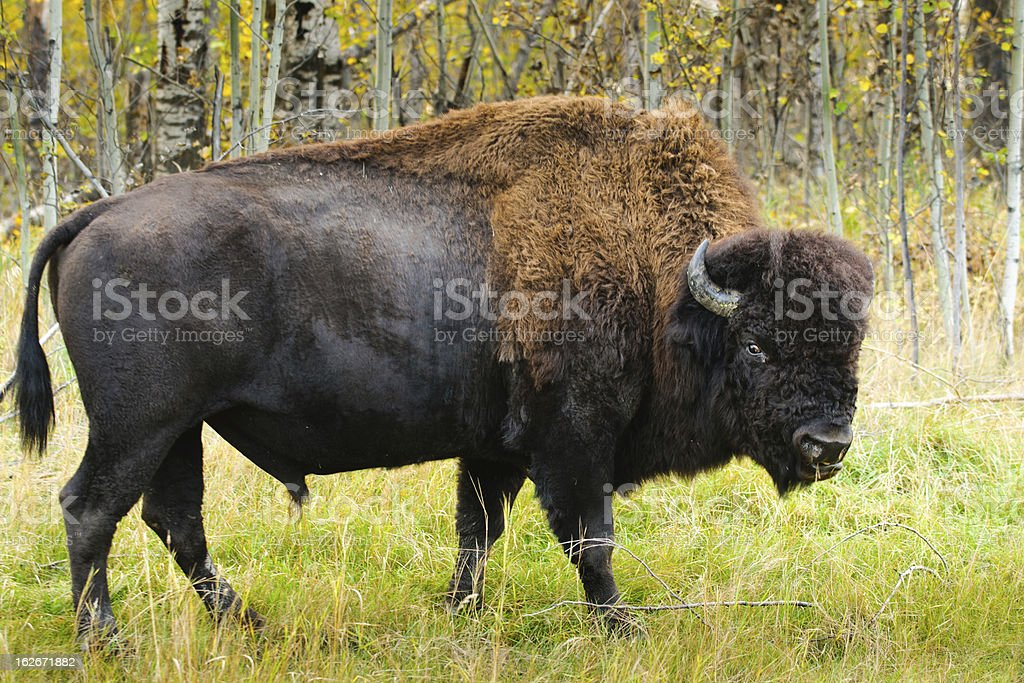 Wood Bison royalty-free stock photo