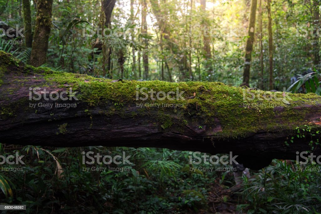 wood covered with green moss in the forest stock photo