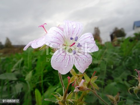 September photo with Wood Cranesbill at the northern polar circle (Norrbotten, Sweden)