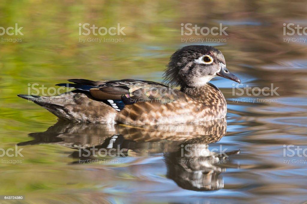 Wood duck, Aix Sponsa, female bird in fall stock photo