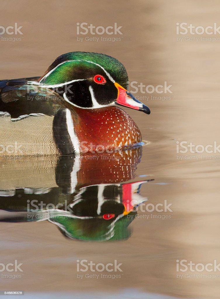 Wood Duck Drake Portrait - アメリカオシのストックフォトや画像を ...