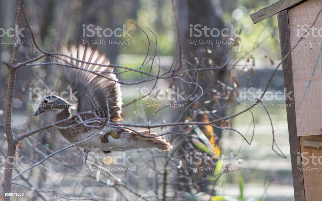 Wood duck nest boxes stock photo more pictures of animal wildlife wood duck nest boxes royalty free stock photo publicscrutiny Choice Image