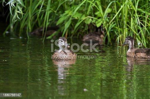 istock wood duck or Carolina duck 1330755147