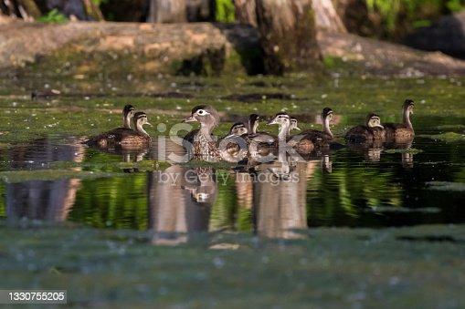 istock wood duck or Carolina duck 1330755205