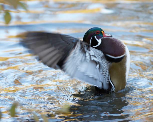 Wood duck picture id1072548830?b=1&k=6&m=1072548830&s=612x612&w=0&h=x4tkeov1jmoxrf00ou5vslvybsqezrvxjk7x3fqws 8=