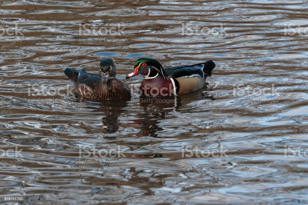 Wood Duck royalty-free stock photo