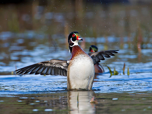 Wood Duck Stretching stock photo