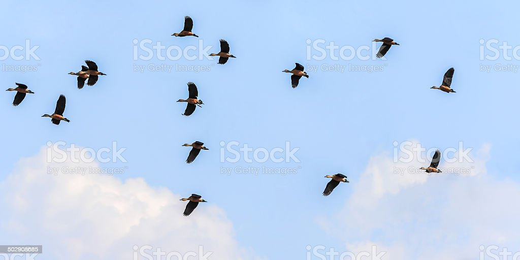 wood ducks flying stock photo