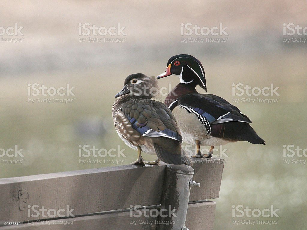 Wood Ducks stock photo