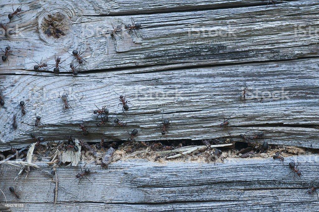 Wood Eating Ants stock photo