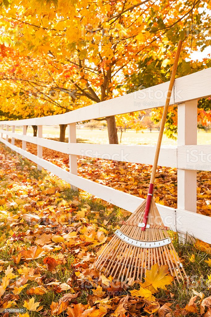 Wood fence, bamboo rake and yellow maple leaves in autumn stock photo