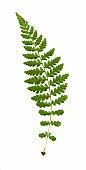 Wood fern frond,