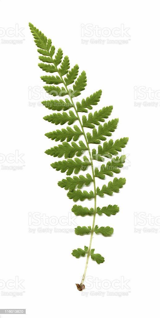 wood fern, Dryopteris species stock photo