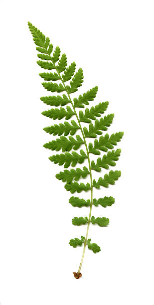 wood fern, Dryopteris species Wood fern frond,  fern stock pictures, royalty-free photos & images