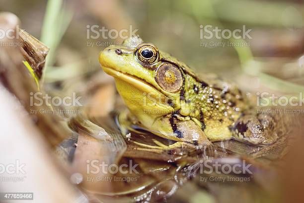 Photo of Wood Frog Sitting in Pond