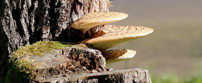 Polyporus squamosus Huds. ex Fr. Dryad's Saddle, Scaly Polypore, Polypore écailleux, Schuppiger Porling, Pisztricgomba, Poliporo squamoso, Zadelzwam. Bracket 5–60cm across, 0.5–5cm thick, initially circular or fan-shaped, ochraceous-cream covered in concentric dark brown fibrillose scales. Stem 30–100 x 20–60mm, lateral or occasionally off-centre, blackish towards the base. Flesh 1–3cm thick, succulent when fresh, drying corky, white. Smell strongly of meal. Tubes 5–10mm long, decurrent down the stem, white to creamy. Pores 1–3 x 0.5–1.5mm, irregular and angular, whitish to ochraceous-cream. Spores white, oblong-ellipsoid, 10–15 x 4–5um. Hyphal structure dimitic with generative and binding hyphae; generative hyphae with clamp-connections. Habitat parasitic on deciduous trees, especially elm, beech and sycamore, causing intensive white rot. Season spring to summer, annual. Common. Edible when still young and soft. Distribution, America and Europe (Source R. Phillips).  This is a quite common Species in the Netherlands.