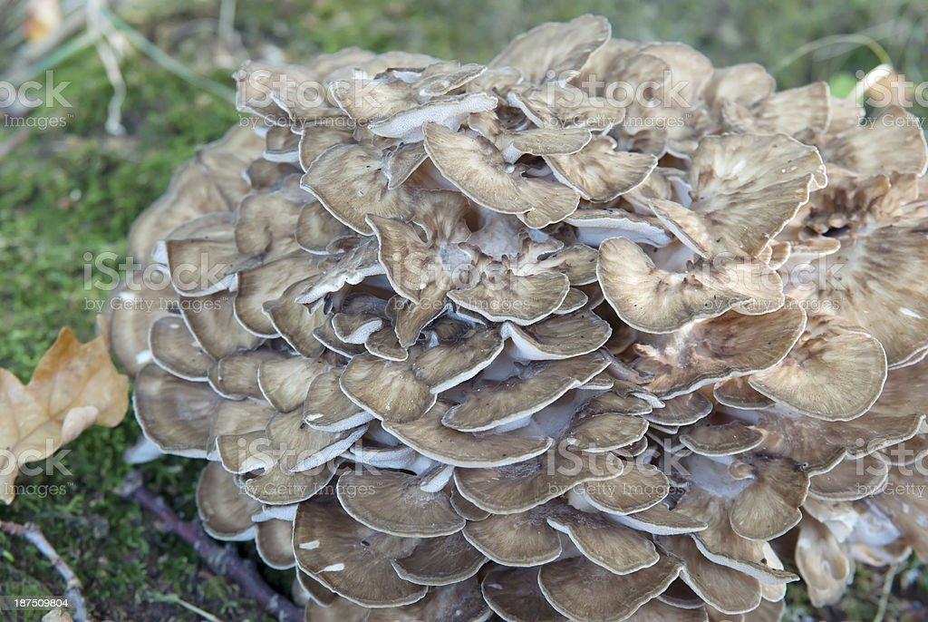 Wood Fungus (Grifola frondosa) royalty-free stock photo