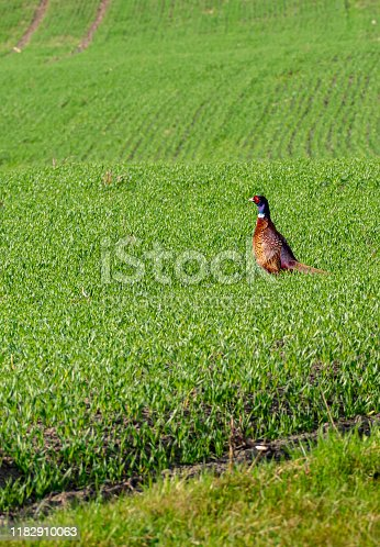 Wood grouse tetrao urogallus in the wild on the field