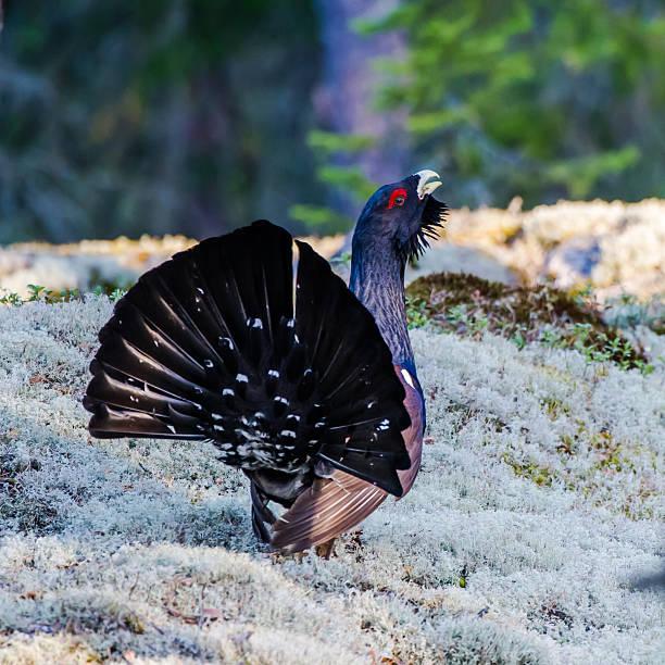wood grouse's tail - tjäder bildbanksfoton och bilder