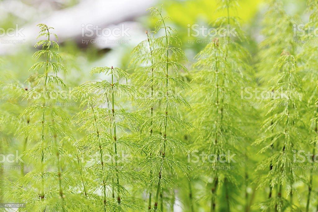 Wood horsetail (Equisetum sylvaticum) royalty-free stock photo