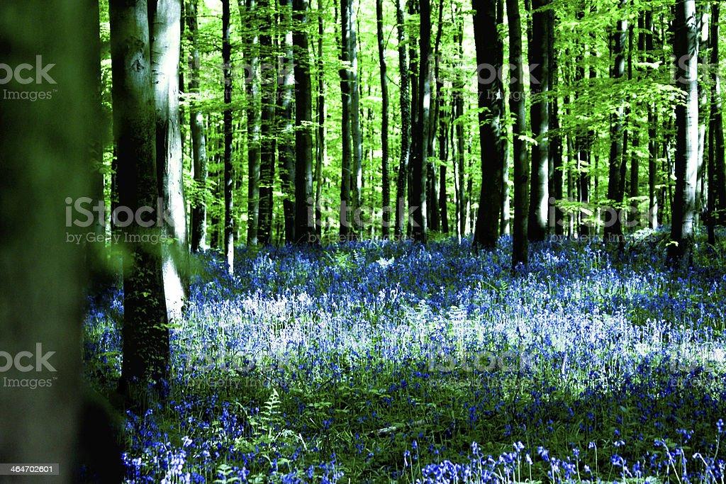 Jacinthes des bois au printemps stock photo