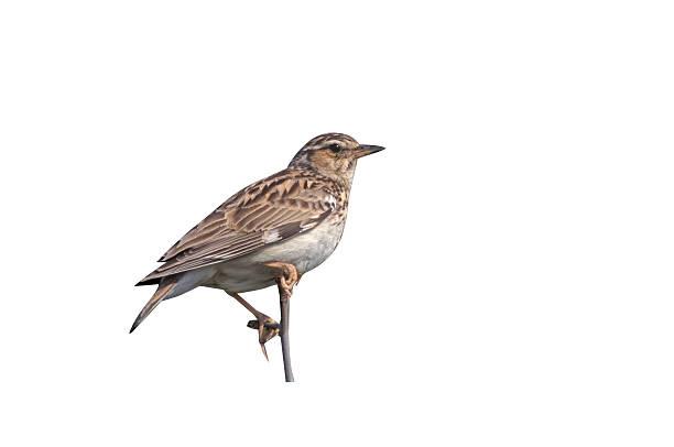 Wood lark, Lullula arborea, stock photo