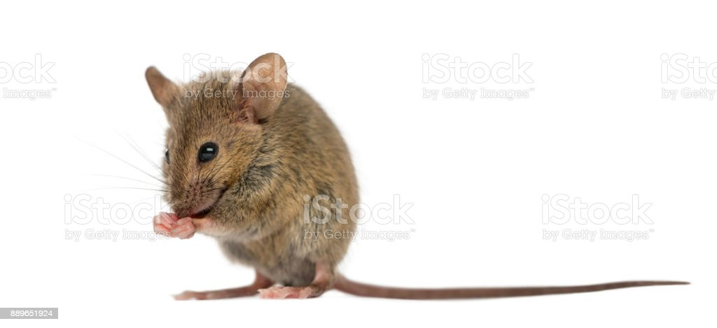 Wood mouse cleaning itself in front of a white background stock photo