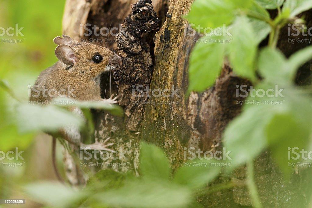 Wood mouse in habitat stock photo